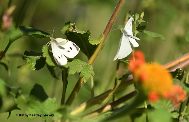 In this image, the female cabbage white butterfly (left) raises her abdomen, rejecting the male that is scattering pheromone on her, says Art Shapiro, UC Davis distinguished professor of evolution and ecology. (Photo by Kathy Keatley Garvey)