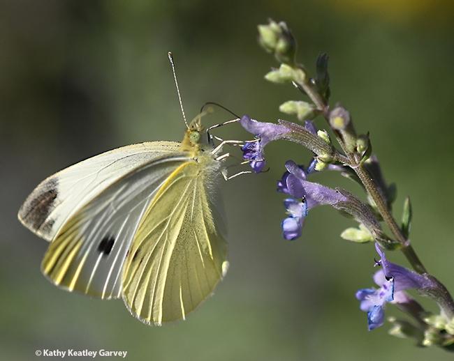 A male cabbage white butterfly, Pieris rapae. (Photo by Kathy Keatley Garvey)