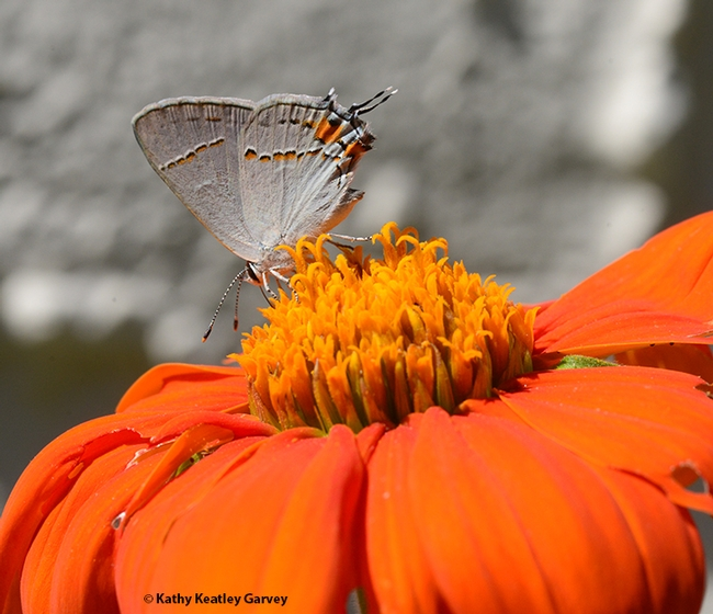 The Gray Hairstreak, Strymon melinus, sips nectar on a Mexican sunflower, Tithonia rotundifola, in a Vacaville pollinator garden. The orange spots accent the orange flower. (Photo by Kathy Keatley Garvey)