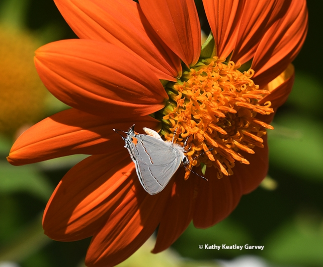 The Gray Hairstreak, Strymon melinus, dips low to sip nectar on a Mexican sunflower, Tithonia rotundifola, in a Vacaville pollinator garden.  (Photo by Kathy Keatley Garvey)