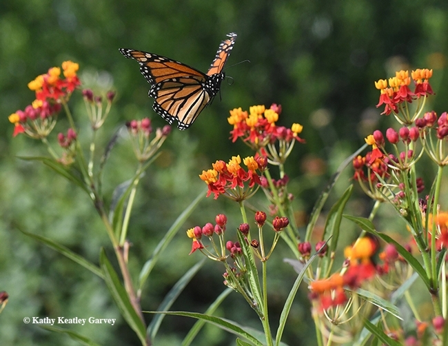 FLOAT LIKE A LEPIDOPTERA--A monarch floats over milkweed, its host plant, in this image taken in Vacaville, Calif. (Photo by Kathy Keatley Garvey)