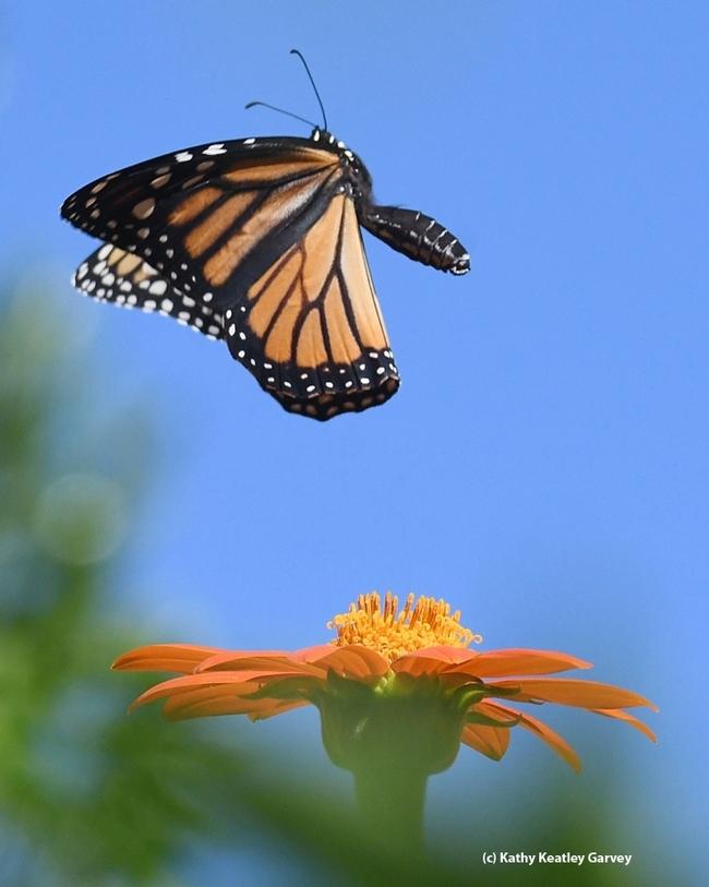A monarch butterfly takes flight. (Photo by Kathy Keatley Garvey)