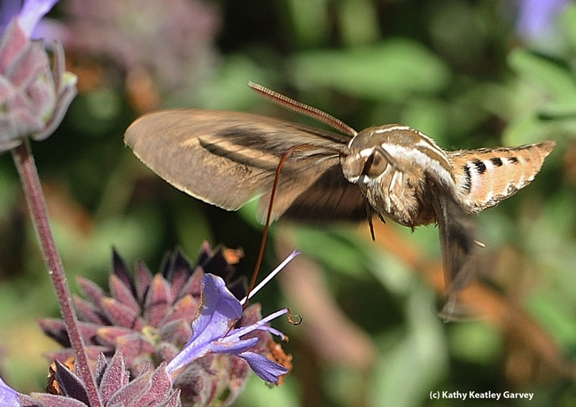 A white-lined sphinx moth (Hyles lineata) forages on flowers at UC Davis. (Photo by Kathy Keatley Garvey)