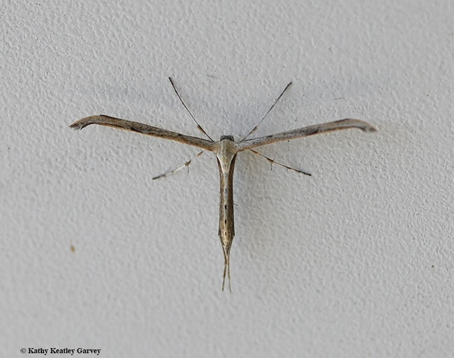The t-shaped plume moth (family Pterophoridae) is easily distinguishable from other moths. (Photo by Kathy Keatley Garvey)