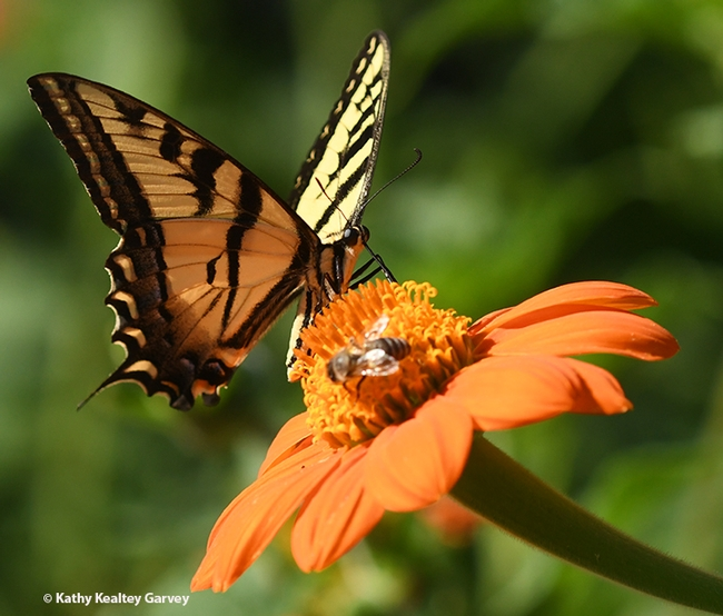 A honey bee and a butterfly, a Western tiger swallowtail sharing some nectar on a Mexican sunflower in a Vacaville pollinator garden. (Photo by Kathy Keatley Garvey)