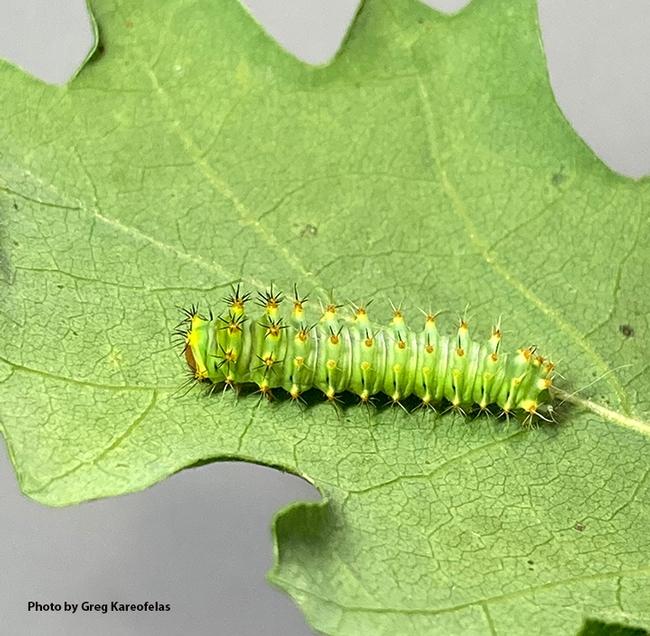 This image, taken May 2, shows the larva of the Polyphemus silk moth, Antheraea polyphemus. (Photo by Greg Kareofelas)