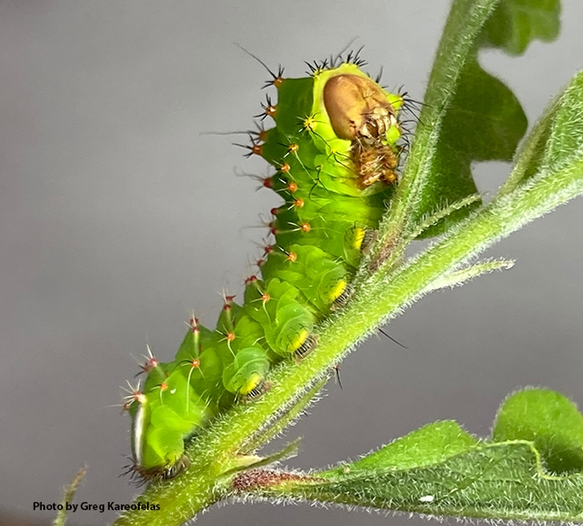 On May 9, the caterpillar of the Polyphemus silk moth, Antheraea polyphemus, looked like this. (Photo by Greg Kareofelas)