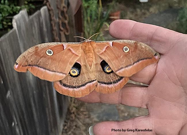 A beautiful Polyphemus silk moth, Antheraea polyphemus, eclosed on June 20. (Photo by Greg Kareofelas)