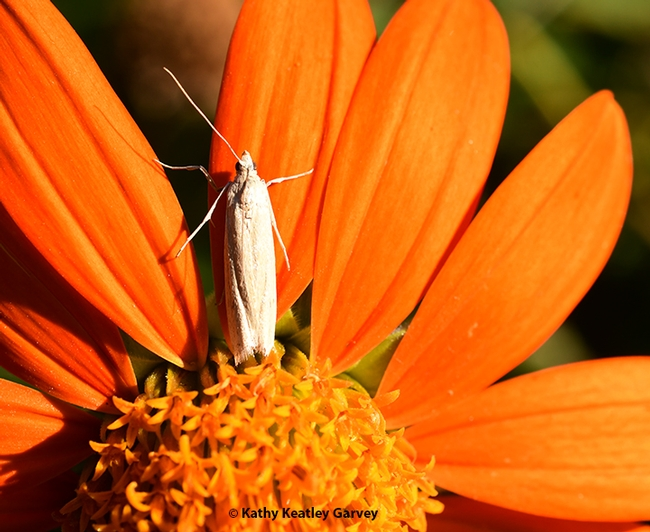 This tiny moth, which appears to be a Cadra figulilella, the raisin moth, rests on a petal of a Mexican sunflower in a Vacaville pollinator garden during National Pollinator Week. (Photo by Kathy Keatley Garvey)