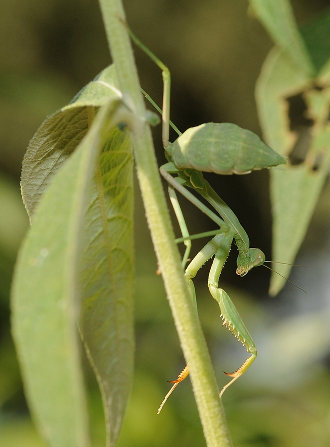 Acrobatic praying mantis in action. (Photo by Kathy Keatley Garvey)