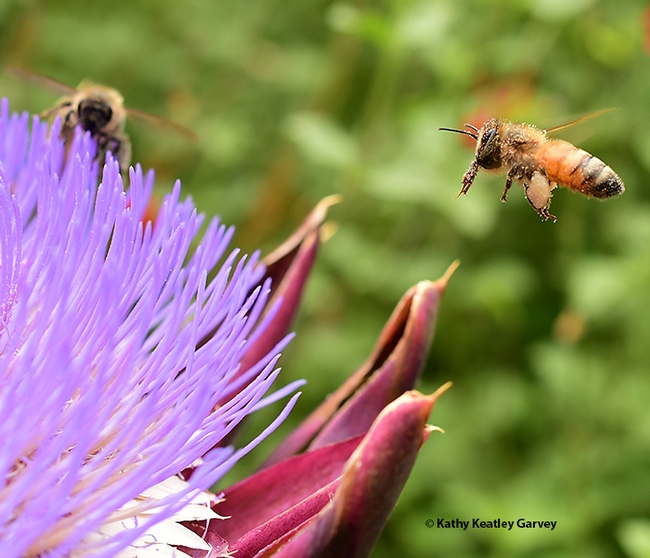 Packing white pollen, a honey bee makes a return visit to the flowering artichoke while she cleans her proboscis (tongue). (Photo by Kathy Keatley Garvey)