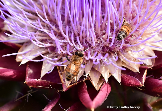 Two honey bees are dusted with pollen from the flowering artichoke. (Photo by Kathy Keatley Garvey)
