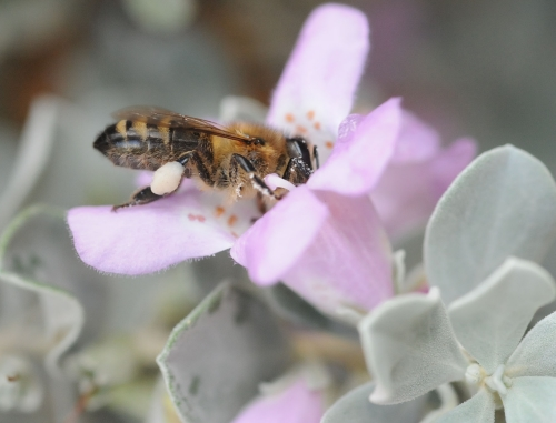 A pollen-packed honey bee dips her head  in cenizo in the Storer Gardens, UC Davis Aboretum.(Photo by Kathy Keatley Garvey)