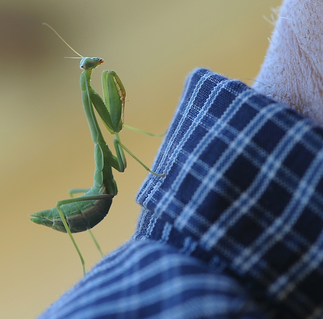 Praying mantis climbs on the back of Extension apiculturist Eric Mussen. (Photo by Kathy Keatley Garvey)