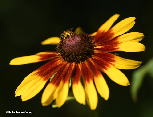 A sweat bee, Halictus ligatus, foraging on a Black-Eyed Susan in a Vacaville, Calif. pollinator garden. (Photo by Kathy Keatley Garvey)