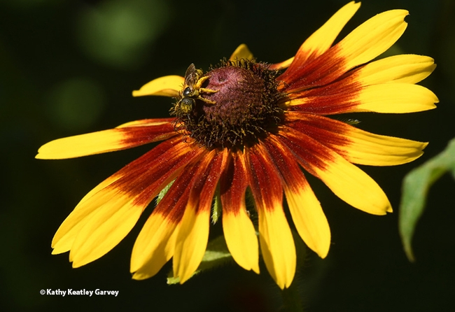 The sweat bee, Halictus ligatus, moves around the Black-Eyed Susan. (Photo by Kathy Keatley Garvey)