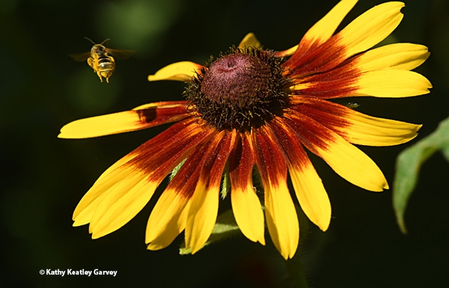 The sweat bee, Halictus ligatus, covered with pollen, takes flight. (Photo by Kathy Keatley Garvey)