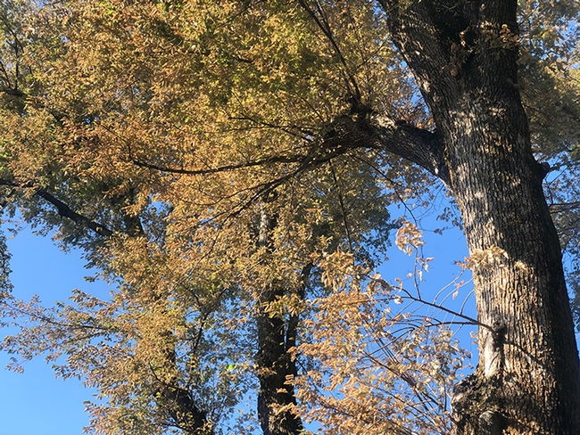 An elm tree on Buck Avenue, Vacaville, showing defoliation by the elm leaf beetle and its larvae. (Photo by Kathy Keatley Garvey)