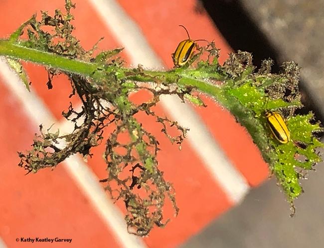 Elm leaf beetles on an elm leaf. (Photo by Kathy Keatley Garvey)