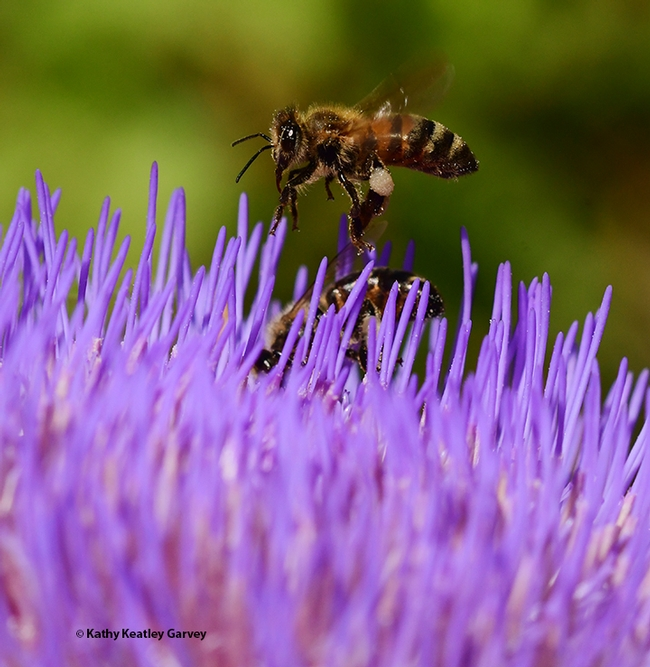 The honey bee finishes her grooming--cleaning her tongue. (Photo by Kathy Keatley Garvey)