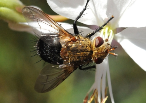 The parasitic tachinid fly feeds on nectar in the Storer Gardens, UC Davis Arboretum. (Photo by Kathy Keatley Garvey)