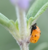 Ladybug pupa on sage