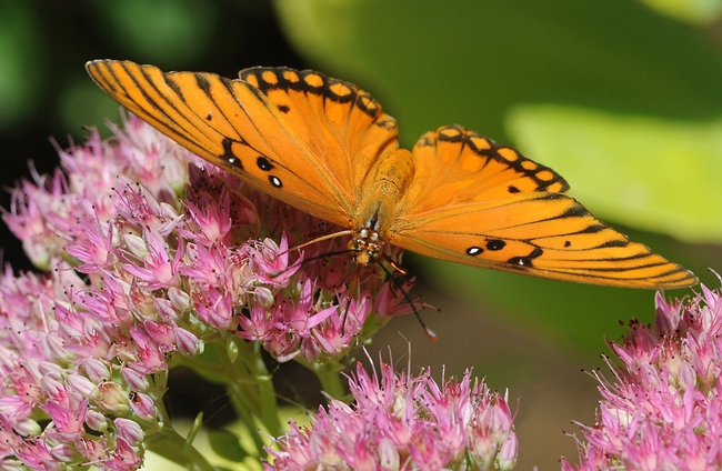 Close-up Gulf Fritillary on sedum. (Photo by Kathy Keatley Garvey)