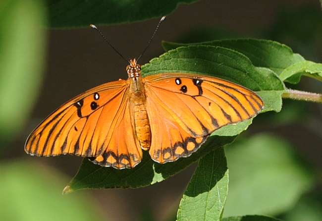 Wingspan of Gulf Fritillary (Agraulis vanillae) can reach four inches. (Photo by Kathy Keatley Garvey)
