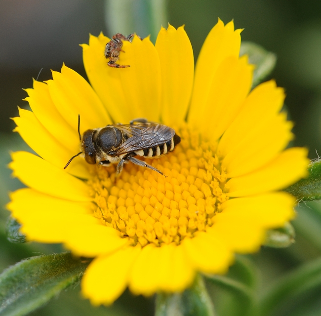 Leafcutter bee forages on a gold coin flower, unaware that a jumping spider lurks. (Photo by Kathy Keatley Garvey)