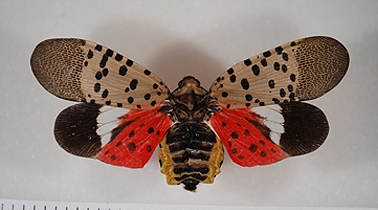 Spotted lanternfly. (Pennsylvania Department of Agriculture)