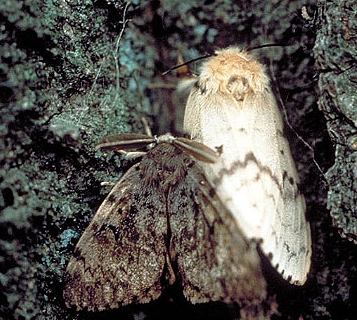 Asian gypsy moth. (Photo: John H. Ghent and Manfred Mielke, USDA Forest Service, Bugwood.org)