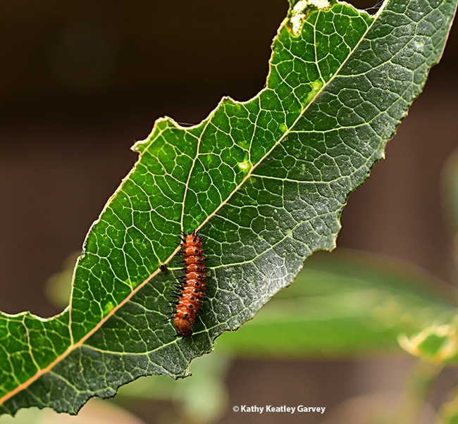 A Gulf Fritillary caterpillar on a passionflower (Passiflora) leaf. (Photo by Kathy Keatley Garvey)
