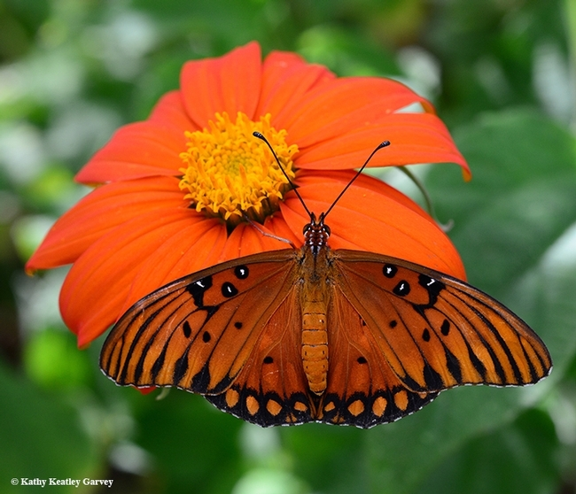 Dorsal view of a newly eclosed Gulf Fritillary nectaring on a Mexican sunflower, Tithonia rotundifola. (Photo by Kathy Keatley Garvey)