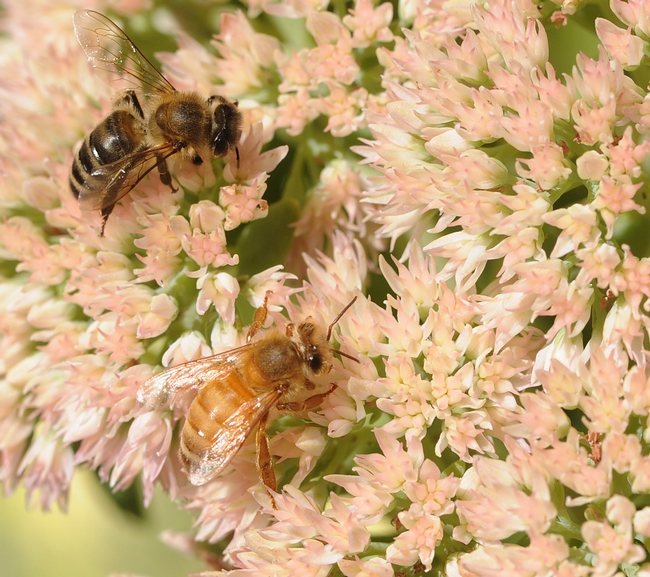 Darker bee and a light-colored bee foraging on sedum. (Photo by Kathy Keatley Garvey)