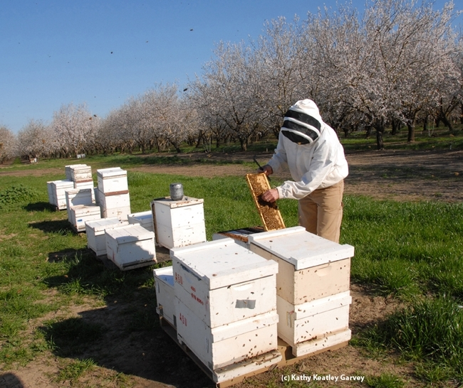 Robert E. Page Jr., maintained a UC Davis honey bee-breeding program, managed by Kim Fondrk, at the Harry H. Laidlaw Jr. Honey Bee Research Facility for 24 years. Here Fondrk checks on the UC Davis bees in a Dixon almond orchard.  (Archived photo by Kathy Keatley Garvey)