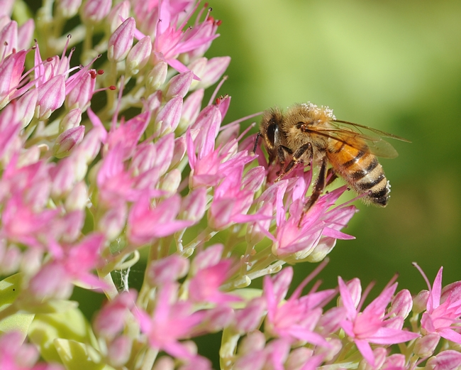 Beautifully striped honey bee working the sedum. (Photo by Kathy Keatley Garvey)