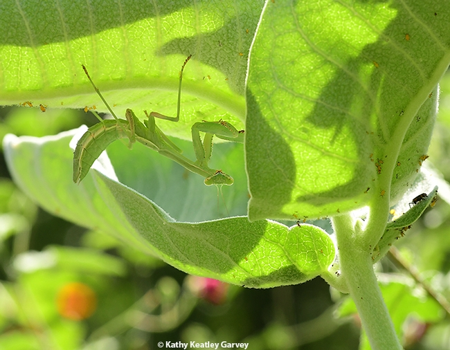 A praying mantis lurking beneath a leaf of the showy milkweed, Asclepias speciosa, in a Vacaville, Calif. garden. (Photo by Kathy Keatley Garvey)