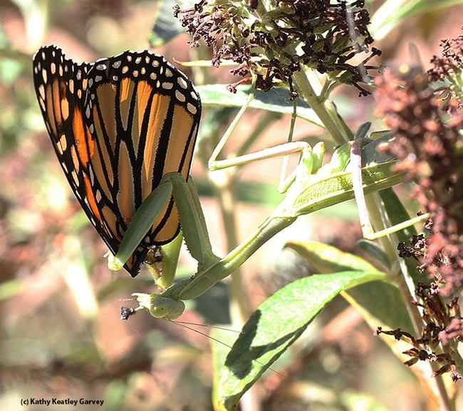 Yes, monarchs are on the menu of the praying mantis. They polish of everything but the wings. This archived image is from Sept. 29, 2015. (Photo by Kathy Keatley Garvey)