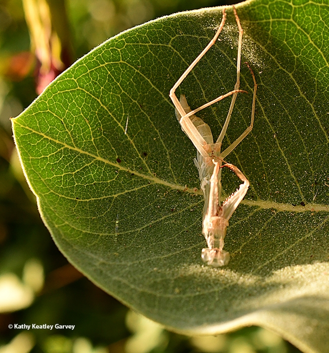 The exoskeleton that the praying mantis just shed is lying on a milkweed leaf. (Photo by Kathy Keatley Garvey)