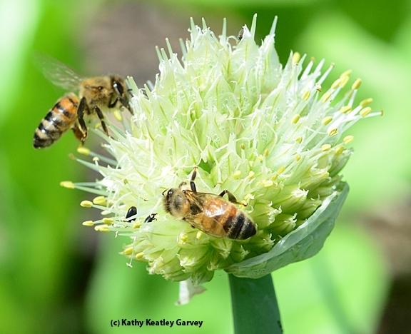 Honey bees pollinating an onion umbel (flowering head). (Photo by Kathy Keatley Garvey)