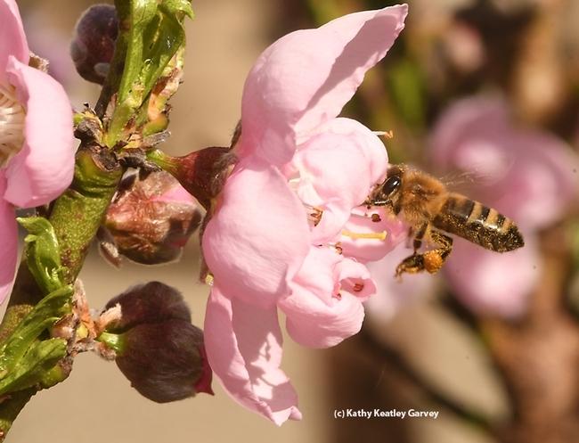 Honey bee pollinating a nectarine blossom. (Photo by Kathy Keatley Garvey)