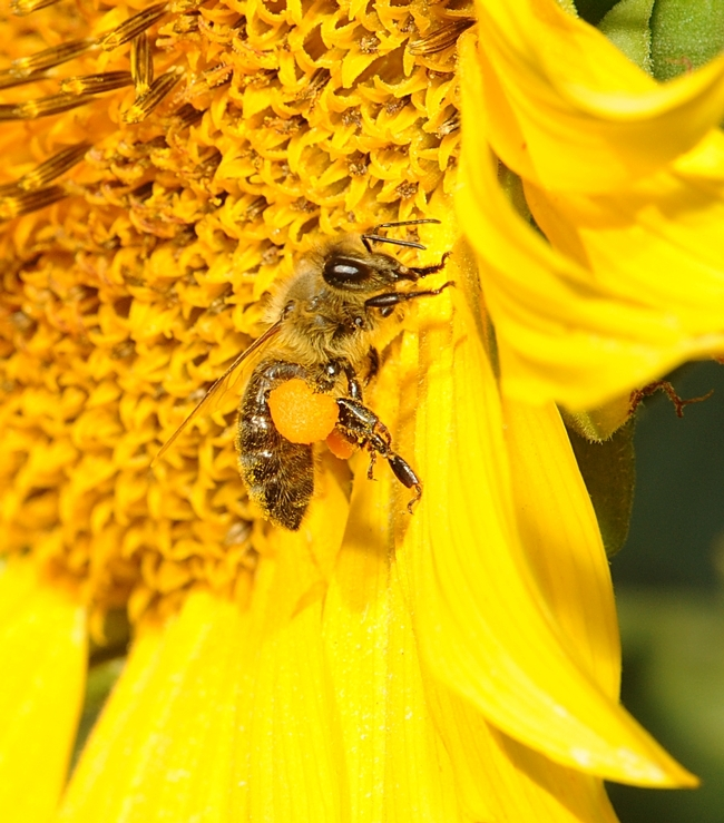 Honey bee pollinating a sunflower blossom. (Photo by Kathy Keatley Garvey)