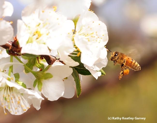 Honey bee heading toward a plum blossom. (Photo by Kathy Keatley Garvey)