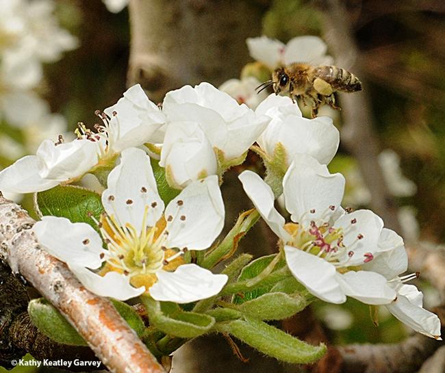 Honey bee pollinating pear blossoms. (Photo by Kathy Keatley Garvey)