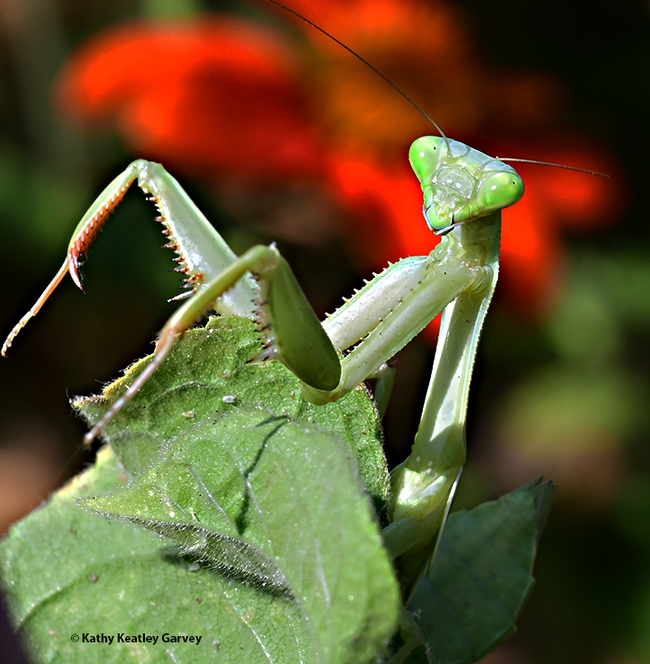 A female praying mantis, Stagmomantis limbata, peers at the photographer in a Vacaville pollinator garden. (Photo by Kathy Keatley Garvey)