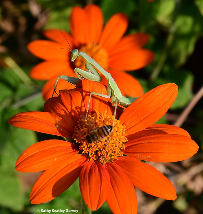 Hey, I'm here! The praying mantis surveys her surroundings. Note: this bee did not become breakfast. (Photo by Kathy Keatley Garvey)