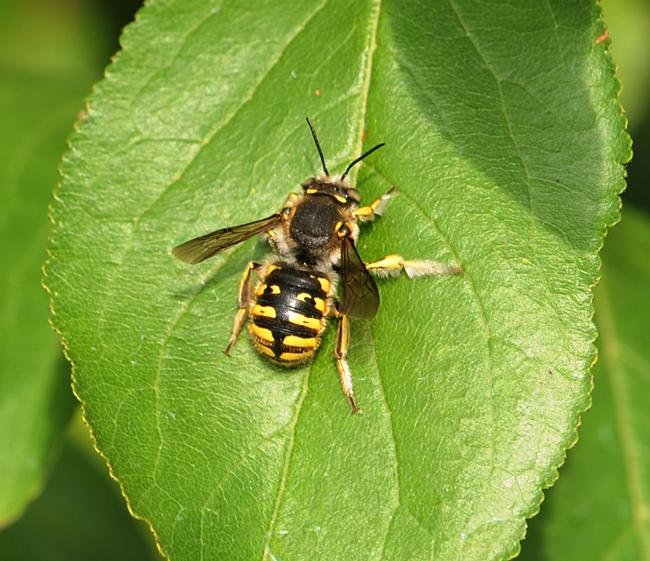 Wool carder bee sunning itself on a plum leaf. (Photo by Kathy Keatley Garvey)