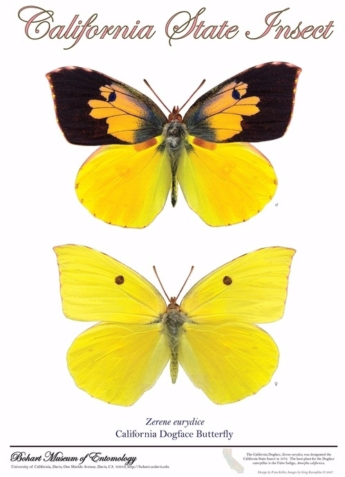 The California dogface butterfly, the state insect, is also known as