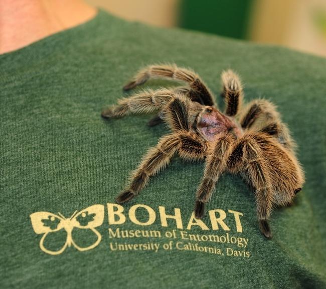 Tarantula at the Bohart Museum of Entomology. (Photo by Kathy Keatley Garvey)