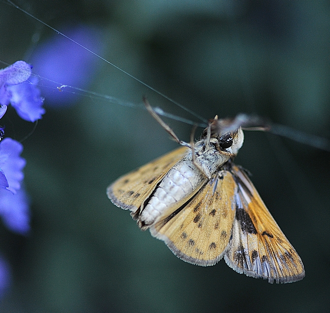 Fiery skipper struggles to free itself in a spider web. (Photo by Kathy Keatley Garvey)